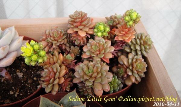 Sedum 'Little Gem'