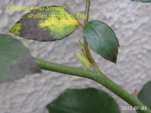 蔓玫 新雪 Climbing Roses Sinsetu