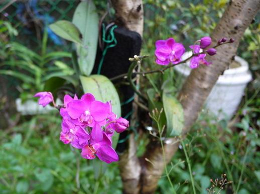 媽咪的蘭花