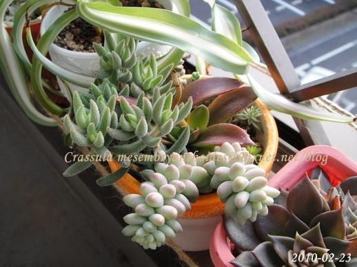 Crassula mesembryanthoides / 銀箭 / 銀ぞろえ