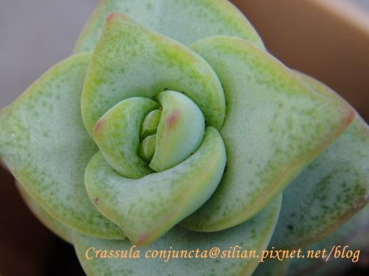 Crassula conjuncta / 星之王子 / 星の王子