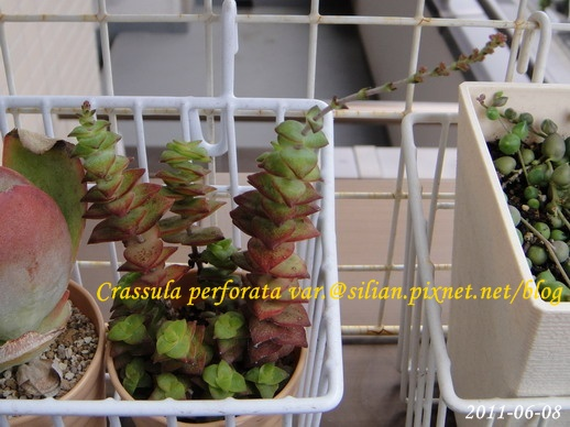 Crassula perforata var  十字星