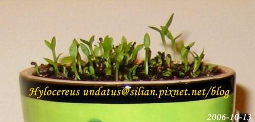 Hylocereus undatus 'Fon-Lon' / 火龍果