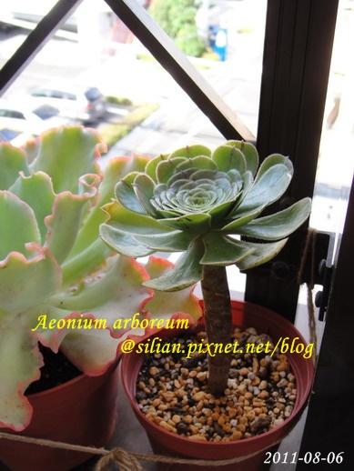 Aeonium arboreum / サンシモン カナリエンス(カナリエンシス)