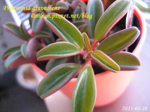 Peperomia graveolens / 紅椒草 / ペペロミア・グラベオレンス
