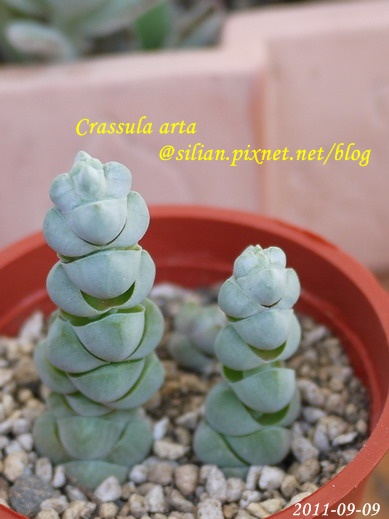 Crassula arta 玉稚兒