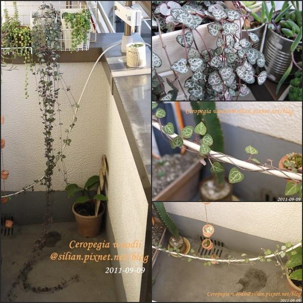 Ceropegia woodii / 愛之蔓 / ハートカズラ