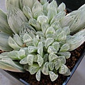 Haworthia cooperi var. pilifera cv. variegata / 白斑玉露 / 白水晶