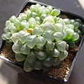 Haworthia cooperi var. truncata / 姬玉露 / 雫石
