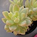 Sedum adolphii f. variegata  / 黃麗錦 / 月の王子錦 / 黄麗錦(おうれいにしき)