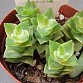 Crassula perforata var. variegata / 南十字星