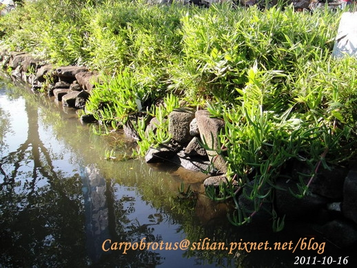 Carpobrotus chilensis ? / カルポブローツス・キレンシス