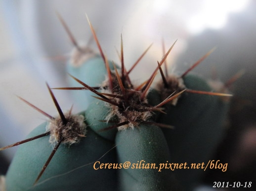 Cereus / 神代柱(柱サボテン)