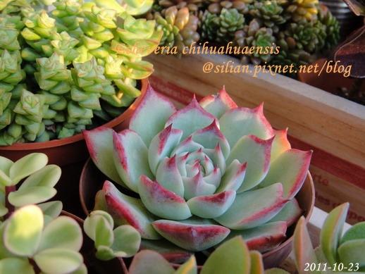 Echeveria chihuahuaensis / 唇炎之宵 / チワワエンシス