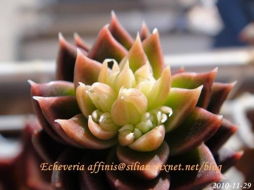 Echeveria affinis / 古紫