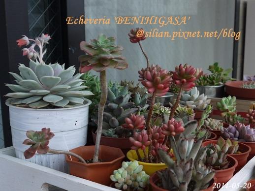 紅日傘 / Echeveria 'BENIHIGASA'