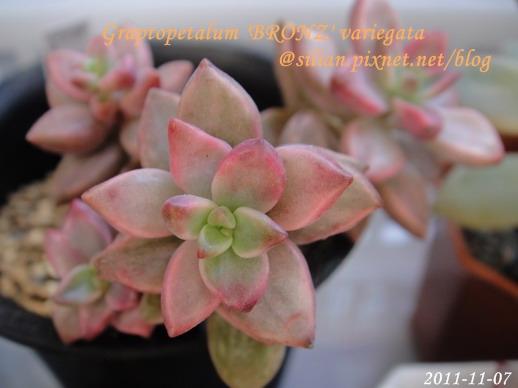 Graptopetalum 'BRONZ' variegata / 姬朧月錦 / ブロンズ姫錦 / ブロンズ姫の光 / ピーチ姫