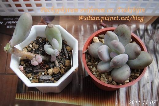 Pachyphytum oviferum cv. Tsukibijin / 月美人 / ツキビジン