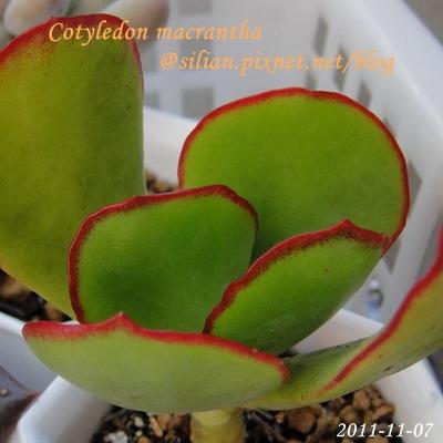 Cotyledon macrantha / 紅覆輪