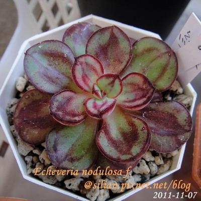 Echeveria nodulosa f. / 丸葉紅司 / マルバベニツカサ