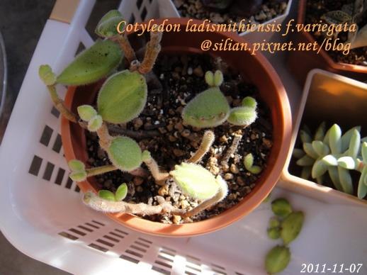 Cotyledon ladismithiensis f.variegata / 熊童子錦黃斑