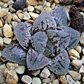 Haworthia hybrid 'Kurozato' / 黑砂糖 / 黒砂糖