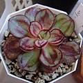 Echeveria nodulosa f. / Echeveria nodulosa 'MARUBA BENITSUKASA' / 丸葉紅司 / マルバベニツカサ