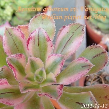 Aeonium arboreum cv. Variegata / 艷日傘 / 艶日傘