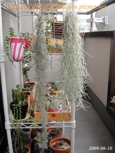 Tillandsia usneoides / 松蘿 / ウスネオイデス
