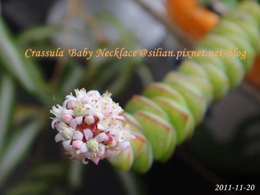 Crassula 'Baby Necklace' / 數珠星 / 烤肉串 / 数珠星