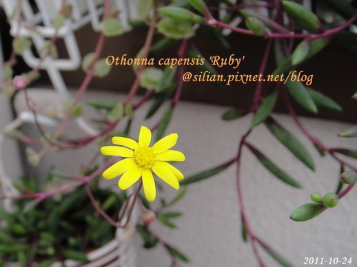 Othonna capensis 'Ruby' / 紫月 / ルビーネックレス 4