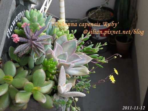 Othonna capensis 'Ruby' / 紫月 / ルビーネックレス 5