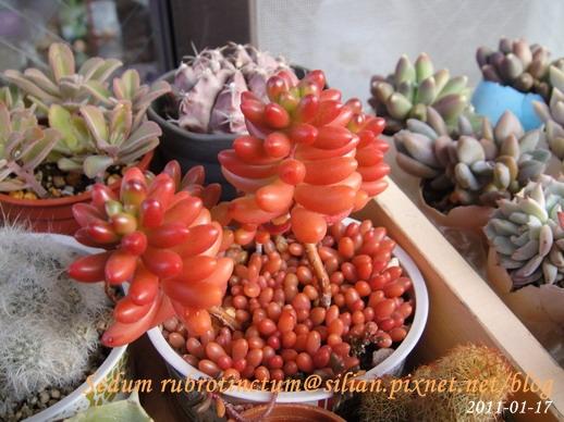 Sedum rubrotinctum / 虹之玉