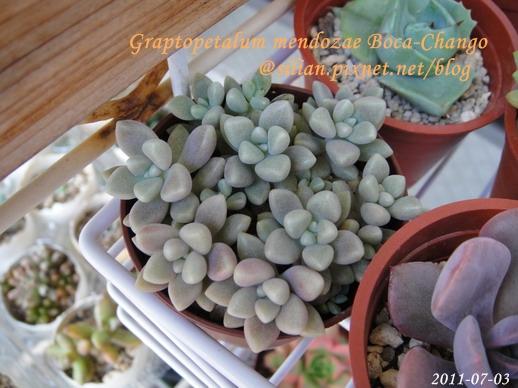 Graptopetalum mendozae Boca-Chango / 姬秋麗