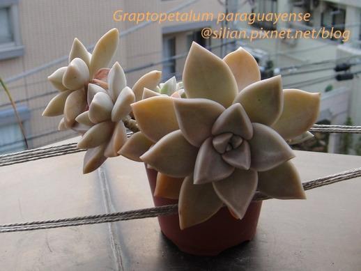 Graptopetalum paraguayense / 朧月