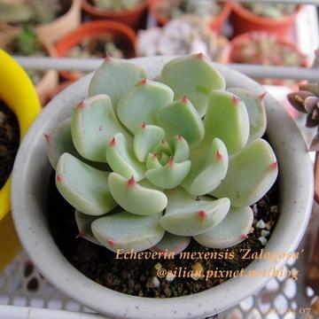 Echeveria mexensis 'Zalagosa' / 野玫瑰之精 / 野ばらの精