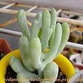 Sedum allantoides / 白厚葉弁慶 / アラントイデス