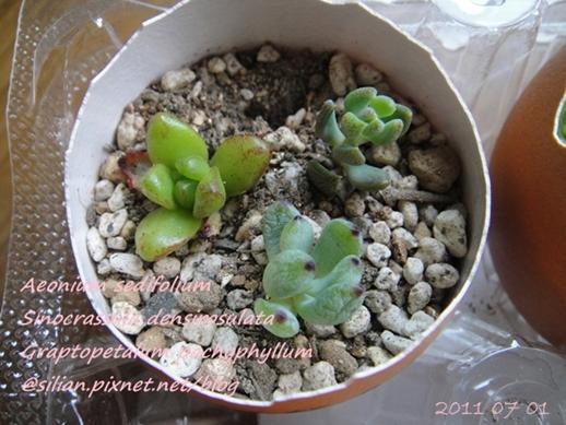 JP Auction 009 Aeonium sedifolium 1