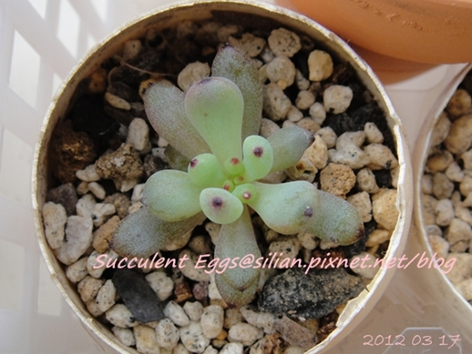 JP Auction 009 Graptopetalum pachyphyllum