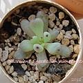 JP Auction 009 Graptopetalum pachyphyllum