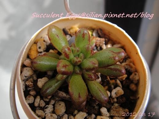 JP Auction 009 Aeonium sedifolium 2
