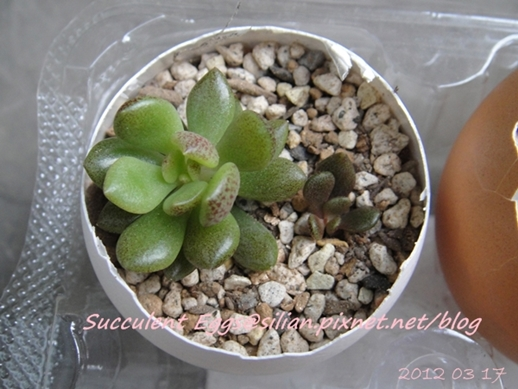 JP Auction 009 Sinocrassula densirosulata