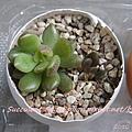 JP Auction 009 Sinocrassula densirosulata