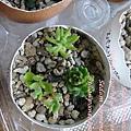 JP Auction 010 Sedum oryzifolium f. pumilum