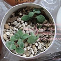 JP Auction Crassula browniana 1