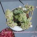 JP Auction Crassula browniana 2