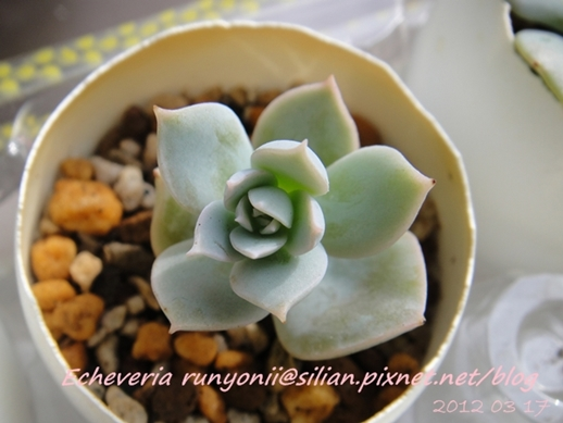 JP Auction Echeveria runyonii 1