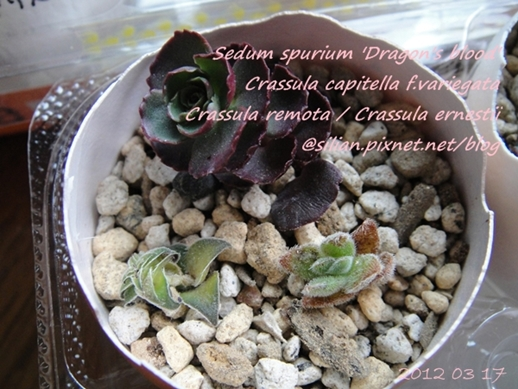 JP Auction Crassula capitella f.variegata