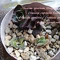 JP Auction Crassula capitella f.variegata