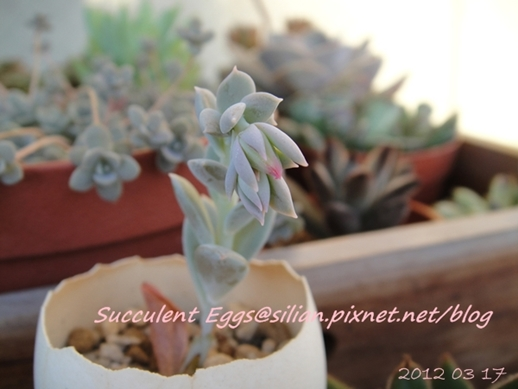 JP Auction Echeveria runyonii 2